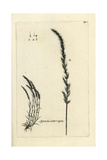"Dense Silkybent Grass, Apera Interrupta, From Pierre Bulliard's ""Flora Parisiensis,"" 1776, Paris Giclee Print by Pierre Bulliard"