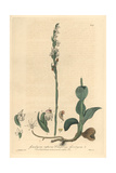 Creeping Goodyera Orchid, Goodyera Repens, From William Baxter's British Phaenogamous Botany, 1839 Giclee Print by Charles Mathews