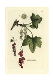 "Redcurrant, Ribes Rubrum, From Pierre Bulliard's ""Flora Parisiensis,"" 1776, Paris Giclee Print by Pierre Bulliard"