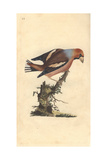 Colorful Grosbeak From Edward Donovan's Natural History of British Birds, 1799 Impression giclée par Edward Donovan