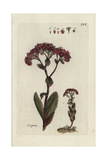 "Orpin, Sedum Telephium, From Pierre Bulliard's ""Flora Parisiensis,"" 1776, Paris Giclee Print by Pierre Bulliard"