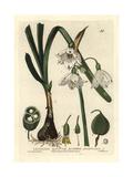 Summer Snowflake, Leucojum Aestivum, From William Baxter's British Phaenogamous Botany, 1834 Giclee Print by William Delamotte