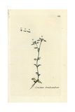 "Five Stamen Chickweed, Cerastrium Semidecandrum, From Bulliard's ""Flora Parisiensis,"" 1776, Paris Giclee Print by Pierre Bulliard"