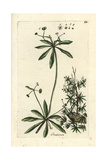 "Goosegrass, Gallium Aparine, From Pierre Bulliard's ""Flora Parisiensis,"" 1776, Paris Giclee Print by Pierre Bulliard"