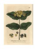Tutsan, Hypericum Androsaemum, From William Baxter's British Phaenogamous Botany, 1834 Giclee Print by Isaac Russell