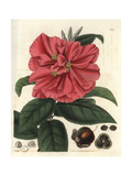 Camellia Reticulata, Captain Rawe's Camellia, Scarlet Flowers, Leaves, Fruit And Seeds Giclee Print by William Jackson Hooker