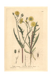 Smooth Hawk's Beard, Crepis Virens, From William Baxter's British Phaenogamous Botany, 1840 Giclee Print by Charles Mathews