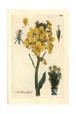 Aegean Wallflower, Erysimum Cheiri (syn. Cheiranthus Cheiri) Giclee Print by Pierre Bulliard