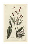 "Redshank, Persicaria Maculosa, From Pierre Bulliard's ""Flora Parisiensis,"" 1776, Paris Giclee Print by Pierre Bulliard"