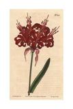 Poppy Coloured Amaryllis, a Native of Cape of Good Hope, Amaryllis Venusta Giclee Print by Sydenham Edwards