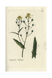 "False Flax, Camelina Sativa, From Pierre Bulliard's ""Flora Parisiensis,"" 1776, Paris Giclee Print by Pierre Bulliard"