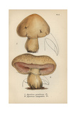 St. George's Mushroom, Agaricus Gambosus 1, And Common Mushroom, Agaricus Campestris 2 Giclee Print by Mordecai Cubitt Cooke