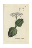 "Common Dogwood, Cornus Sanguinea, From Pierre Bulliard's ""Flora Parisiensis,"" 1776, Paris Giclee Print by Pierre Bulliard"