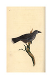 Nutcracker From Edward Donovan's Natural History of British Birds, London, 1799 Giclee Print by Edward Donovan