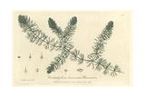 Hornwort, Ceratophyllum Demersum, From William Baxter's British Phaenogamous Botany, Oxford, 1837 Giclee Print by W. Willis