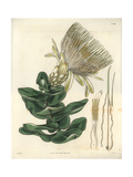 Long-flowered Cream-coloured Protea Or Sugarbush, Protea Longiflora, of South Africa Giclee Print by William Jackson Hooker