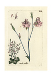 "Wild Columbine, Aguilegia Vulgaris Multiplex, From Bulliard's ""Flora Parisiensis,"" 1776, Paris Giclee Print by Pierre Bulliard"
