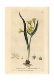 Star of Bethlehem, Gagea Lutea, From William Baxter's British Phaenogamous Botany, 1834 Giclee Print by Isaac Russell