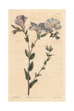 Blue And White Flax with Pale Blue Flowers, Native of Europe, Linum Ascyrifolium Giclee Print by Sydenham Edwards