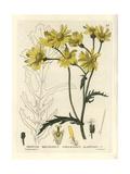 Oxford Ragwort, Senecio Squalidus, From William Baxter's British Phaenogamous Botany, 1834 Giclee Print by William Delamotte