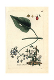 "Bittersweet Nightshade, Solanum Dulcamara, From Pierre Bulliard's ""Flora Parisiensis,"" 1776, Paris Giclee Print by Pierre Bulliard"