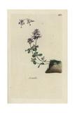 """Wild Thyme, Thymus Serpyllum, From Pierre Bulliard's """"Flora Parisiensis,"""" 1776, Paris Giclee Print by Pierre Bulliard"""