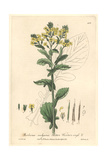 Bitter Winter Cress, Barbarea Vulgaris, From William Baxter's British Phaenogamous Botany, 1841 Giclee Print by Isaac Russell
