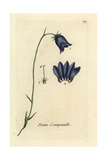 Harebell, Campanula Rotundifolia Giclee Print by Pierre Bulliard