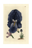 "German Iris, Iris Germanica, From Pierre Bulliard's ""Flora Parisiensis,"" 1776, Paris Giclee Print by Pierre Bulliard"