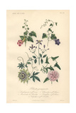 Foxglove, Blue Angel's Trumpet, Blue Clematis, Blue Passionflower, And Pink Double Bindweed Giclee Print by Edouard Maubert
