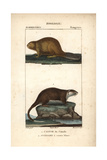 Beaver And Rakali From Frederic Cuvier's Dictionary of Natural Science: Mammals, Paris, 1816 Giclee Print
