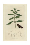 Cercopis Vulnerata, Black-legged Frog-hopper, And Water Horehound, Lycopus Europaeus Giclee Print by John Curtis