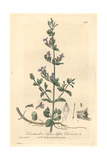 Lesser Calamint, Calamentha Nepta, From William Baxter's British Phaenogamous Botany, 1842 Giclee Print by Charles Mathews