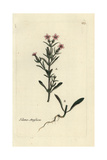 "Catchfly Or Windmill Pink, Silene Anglica, From Pierre Bulliard's ""Flora Parisiensis,"" 1776, Paris Giclee Print by Pierre Bulliard"