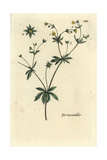 "Tormentil, Potentilla Erecta, From Pierre Bulliard's ""Flora Parisiensis,"" 1776, Paris Giclee Print by Pierre Bulliard"