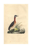 Red-necked Grebe From Edward Donovan's Natural History of British Birds, 1799 Impression giclée par Edward Donovan