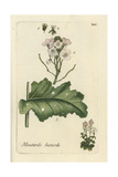 "White Wall Rocket, Diplotaxis Erucoides, From Pierre Bulliard's ""Flora Parisiensis,"" 1776, Paris Giclee Print by Pierre Bulliard"