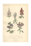 Purple Snapdragon, Scarlet Lobelia, White Veronica, Blue Valerian, And Purple Peruvian Lily Giclee Print by Edouard Maubert