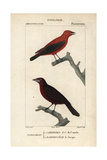 Tanagers From Sainte-Croix's Dictionary of Natural Science: Ornithology, Paris, 1816-1830 Impression giclée