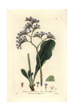 Sea Lavender, Statice Limonium, From William Baxter's British Phaenogamous Botany, 1836 Giclee Print by Isaac Russell