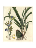 Zygopetalon Mackaii, Spotted Zygopetalum Orchid with Dingy Yellow, Green And Blue Flowers Giclee Print by William Jackson Hooker