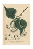 Lime Tree, Tilia Europaea, From William Baxter's British Phaenogamous Botany, Oxford, 1838 Giclée-Druck von Isaac Russell
