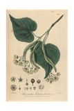 Lime Tree, Tilia Europaea, From William Baxter's British Phaenogamous Botany, Oxford, 1838 Giclee Print by Isaac Russell