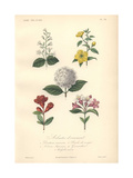 White Abuliton, Yellow Globeflower, White Deutzia, Scarlet Gloxinia, And Pink And White Weigela Giclee Print by Edouard Maubert