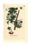 "Hawthorn, Crataegus Monogyna, From Pierre Bulliard's ""Flora Parisiensis,"" 1776, Paris Giclee Print by Pierre Bulliard"