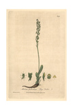 Bog Orchis, Malaxis Paludosa, From William Baxter's British Phaenogamous Botany, Oxford, 1840 Giclee Print by Charles Mathews