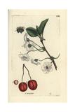 """Sour Cherry, Prunus Cerasus, From Pierre Bulliard's """"Flora Parisiensis,"""" 1776, Paris Giclée-Druck von Pierre Bulliard"""