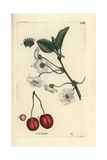 "Sour Cherry, Prunus Cerasus, From Pierre Bulliard's ""Flora Parisiensis,"" 1776, Paris Giclee Print by Pierre Bulliard"