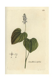 "False Lily of the Valley, Convallaria Bifolia, From Bulliard's ""Flora Parisiensis,"" 1776, Paris Giclee Print by Pierre Bulliard"