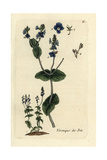 "Creeping Speedwell, Veronica Austriaca Teucrium, From Bulliard's ""Flora Parisiensis,"" 1776, Paris Giclee Print by Pierre Bulliard"